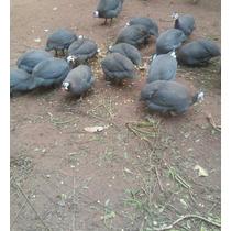 Ovos Galados De Galinha Da Angola Gigante Francesa