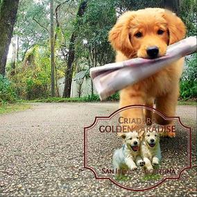 Cachorros Golden Retriever Puros - Criadero Golden Paradise