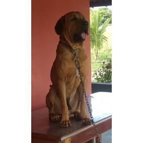 Filhotes Cães Fila Brasileiro Em Até 12x