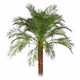 05 Mudas De Palmeira Fênix De Jardim - Arvore Exótica