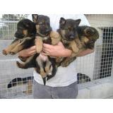 Lindos Cachorros Pastores Alemán 100% Puros