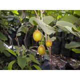 Sobre Para Plantar 20 Plantas De Kiwi.