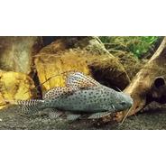 Peixe Synodontis Euptera G