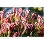 60 Sementes Mix Copo De Leite Bicolor +5 Rosa Deserto Bonsai