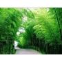 50 Semente Bambu Mosso Gigante Para Mudas Cultivo