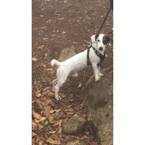 Monta De Jack Russell Terrier Con Certificado Pedigree.