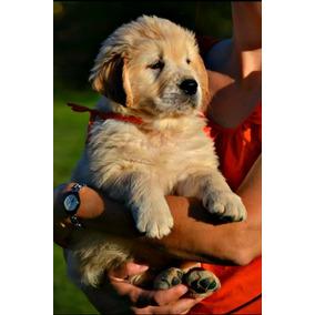 Ultimos Cachorritos Golden Retriever Vacunados Desparasit