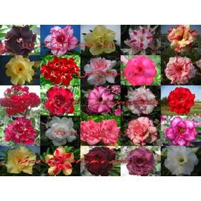 30 Sementes De Rosa Do Deserto Comprando 05 Kits Ganha 1