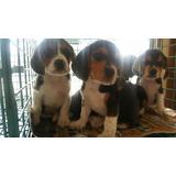 Cachorros De Beagle Envíos A Todo El País