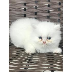 Lindo Filhote Gato Persa Puro Macho Branco