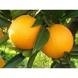 Naranjo Jugo U Ombligo / Frutales / Citricos - Vivero Kirken