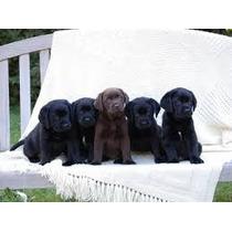 Labradores Retriever Cachorros Lucky Pet