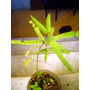 Algarrobo Blanco (prosopis Alba). Sin Agroquímicos