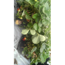 Planta Fresa Organica En Maceta Y Traen Fruto Cantidad 3