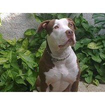 Pit Bull Red Nose Hermoso !!! Ofrece Servicio De Stud