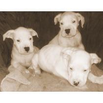 Ultimo Cachoro Dogo Argentino . Oferta 12x0 Interes