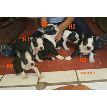 Cachorros Boston Terrier