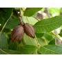 Muda De Noz Pecan Enxertada - Carya Illinoensis K. + Brin...