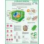 A Célula Vegetal - Mapa Gigante De Botânica Tam 1,20 X 0,90