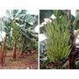 3 Mudas De Banana Da Terra 3 Unidade Frete Gratis