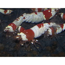 Camarão Red Bee - Red Crystal Grade A - Pacote Com 5 Unidade
