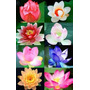 Flor De Loto Lotus Semillas Espectacular Mix De 8 Colores