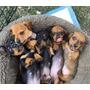 Hermosos Cachorros Salchicha Mini