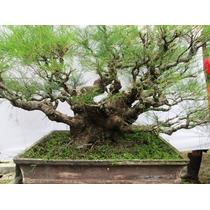 Pinheiro Casuarina - Sementes Para Mudas E Bonsai