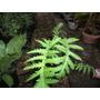 Planta Palma Imperial O De La India