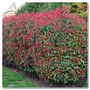 Photinia 15 Litros 1,5-1,7 Mt Ideal Cerco