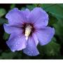 Rosa De Siria (hibiscus Syriacus) Vivero Arbol Hermano