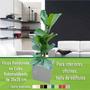 Plantas Para Oficina, Interior Ficus Pandurata En Cubo 35x35