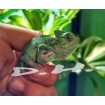 Camaleon De Velo Crias Reptiles