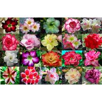 20 Sementes De Rosa Do Deserto - Adenium Obesum + Brinde
