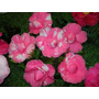 Flores Camelia Espectaculares Colores Mix De Semillas