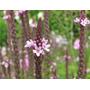 Verbena Rosa Semillas Para Plantas