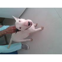Filhotes De Bull Terrier Legitimo Sem Pedigree Macho