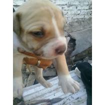 Cachorra Pitbull X American Bully