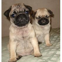 Hermosos Cachorros De Pug Carlino