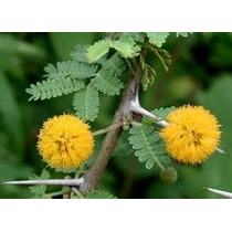 Acacia Farnesiana 8 Semillas Árbol Desértico Nmp Sdqro