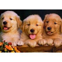 Golden Retriever Cachorros De Calidad