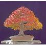 Sementes De Acer Saccharum - Mudas Bonsai Ou Árvores