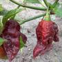 Sementes Da Pimenta Bhut Jolokia Chocolate Rara Exótica
