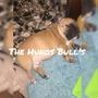 Bulldog Frances Machito Rojo Ciervo