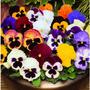 Sementes Amor Perfeito Gg Sortido Flores Jardim Promoçao!!