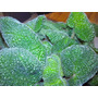 Exótica/ Rara Plantín Begonia Piel De Sapo!! ( Boomer)(av,l)