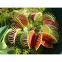 30 Semillas Planta Carnívora (venus Atrapamoscas)