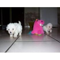 Cachorros French Poodle Tacita De Te Con Vacunas
