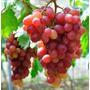 Uva Red Globe Fruta Vitis Sementes Para Mudas + Brinde