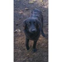 Cachorra De 9 Meses Black Retrever